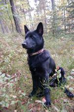 Black Norwegian Elkhound dog in the forest
