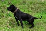 Black Perro de Presa Canario dog