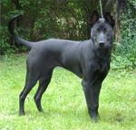 Black Phu Quoc ridgeback dog