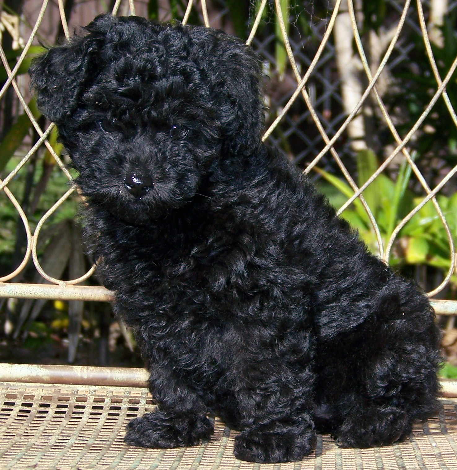 Black Poodle photo and wallpaper. Beautiful Black Poodle pictures