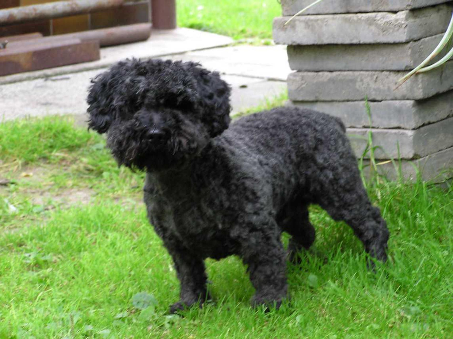 Black Pumi dog  wallpaper