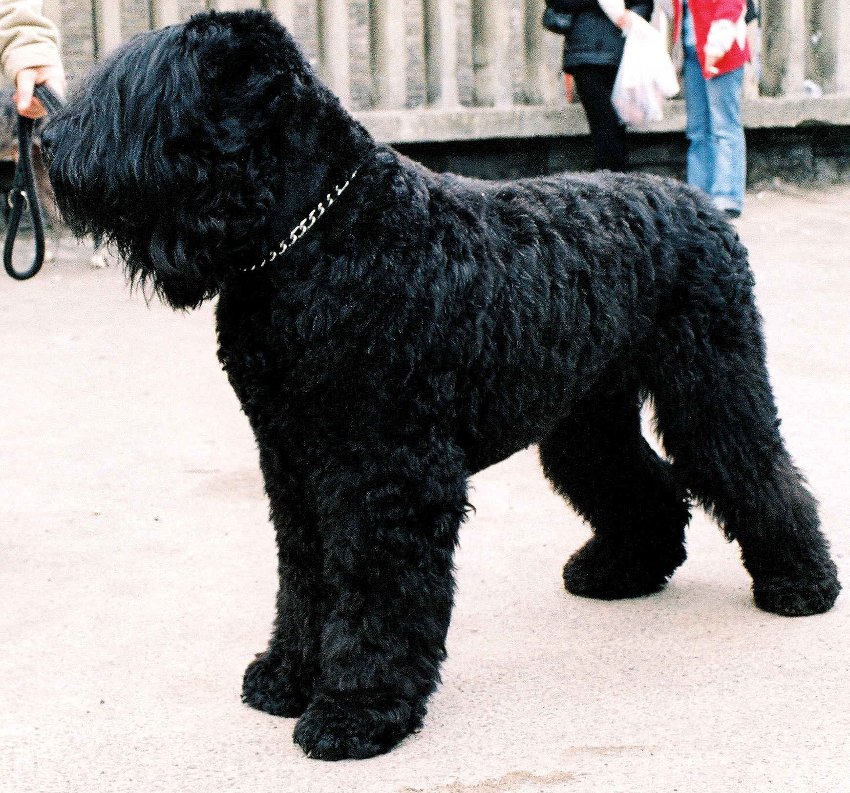 Black Russian Terrier wallpaper