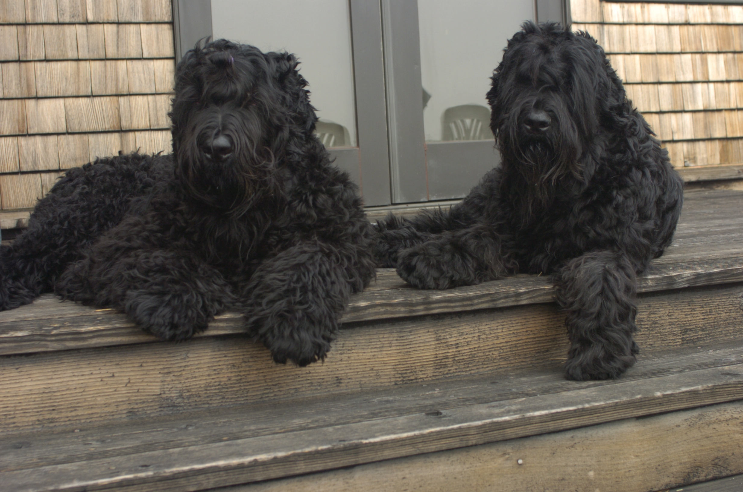 Two Black Russian Terrier dogs on the porch wallpaper