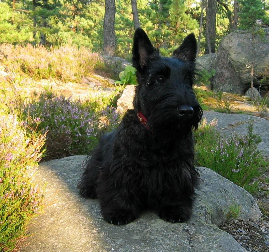 Черный шотландский терьер фото