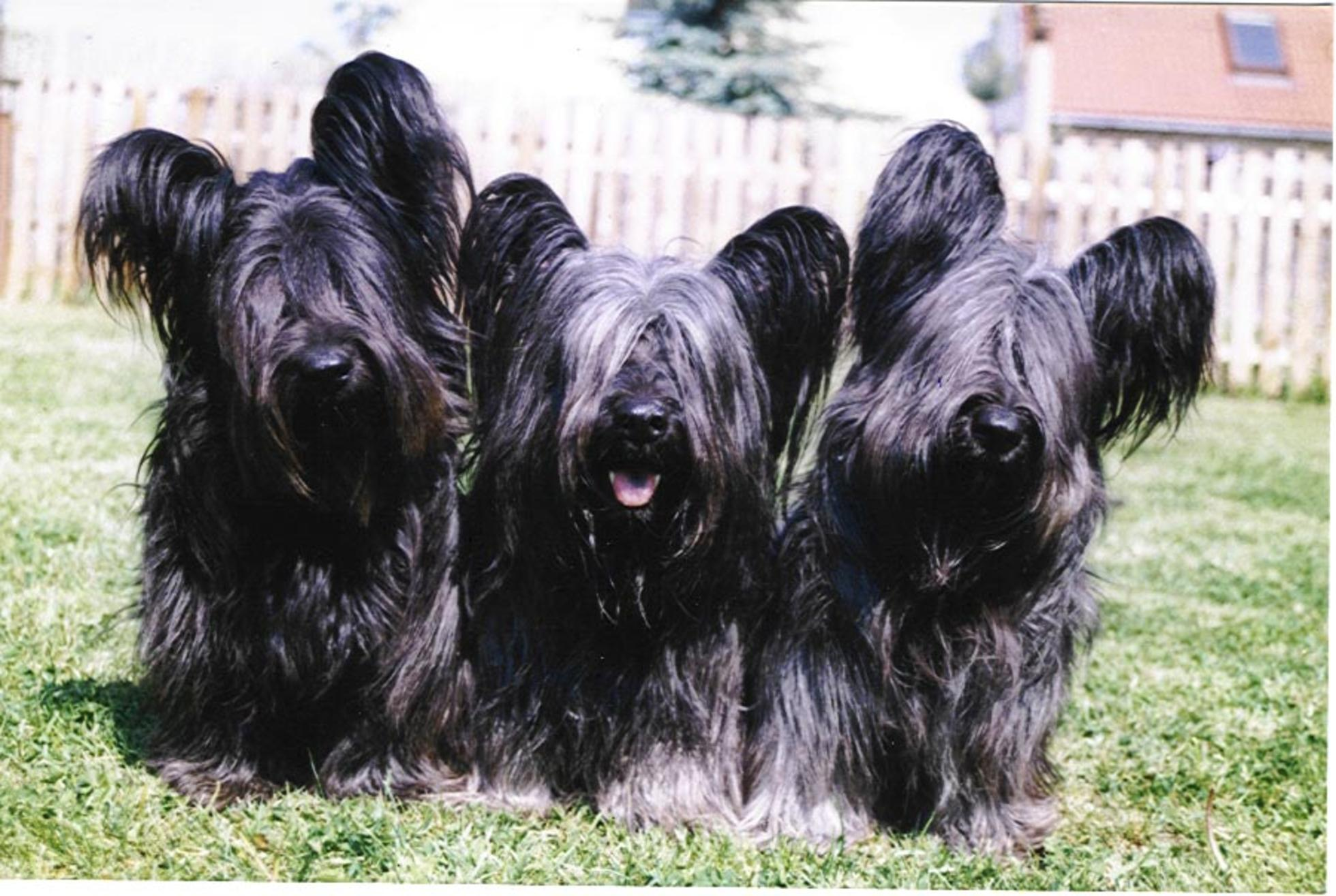 Black Skye Terrier dogs wallpaper