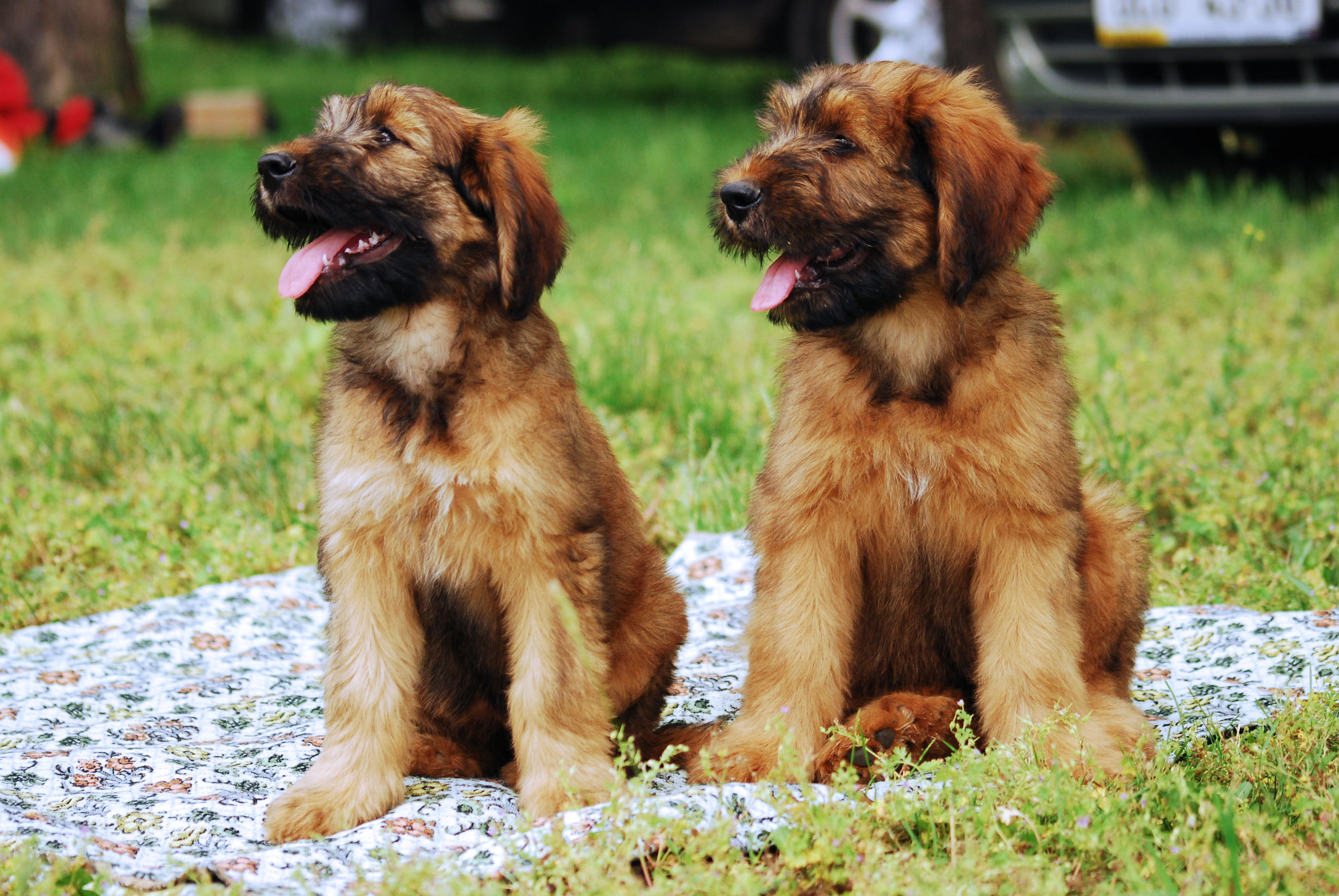 Black and tawny Briard dogs wallpaper