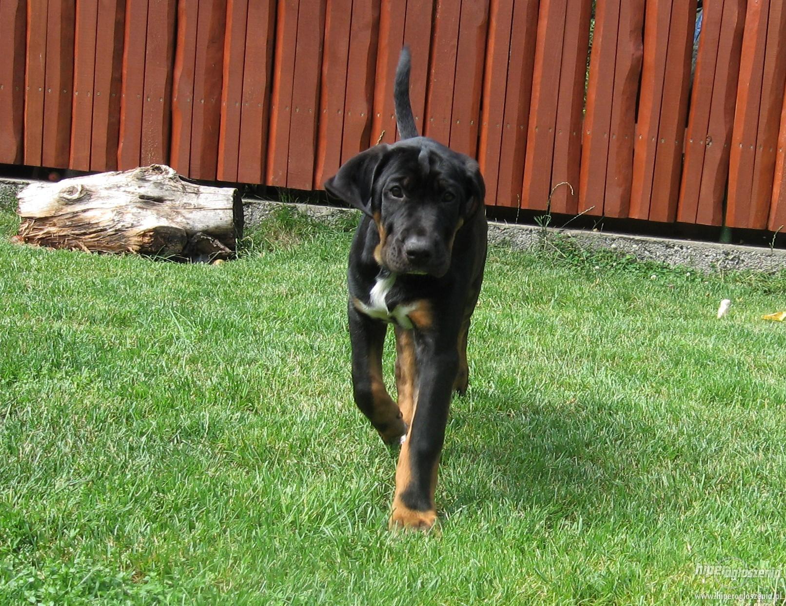 Черная собака тоса-ину фото