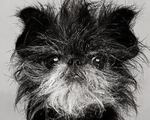 Black & white Affenpinscher