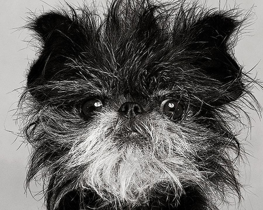 Черно-белое фото аффенпинчера фото