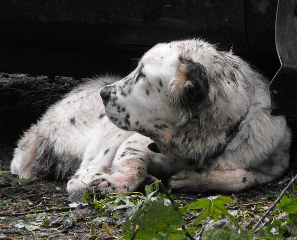 Black and white Central Asian Shepherd dog wallpaper