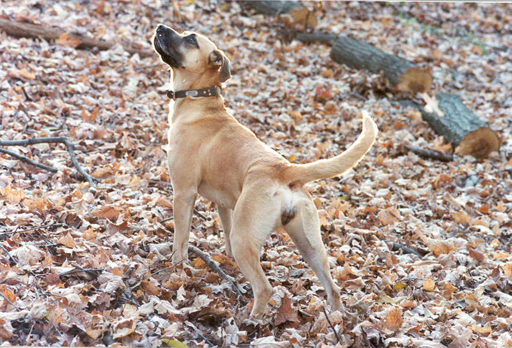Cur,Yellow Blackmouth Cur,Blackmouth Cur,American Blackmouth Cur ...