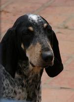 Bleu de Gascogne Petit dog face