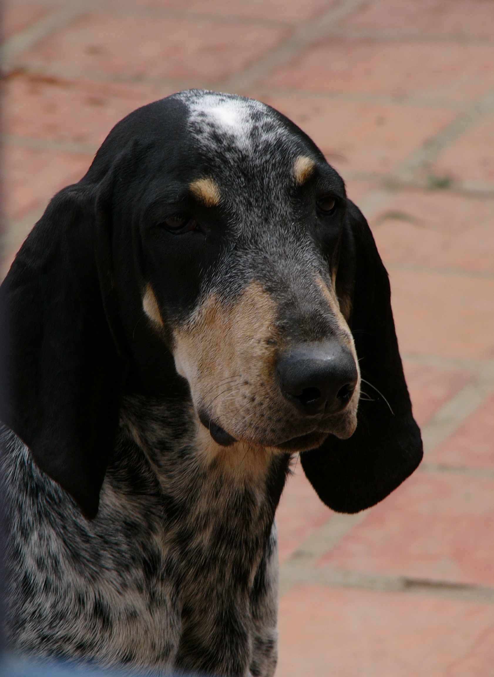 Bleu de Gascogne Petit dog face wallpaper