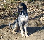 Bleu de Gascogne Petit dog