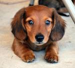 Blue-eyed Dachshund dog