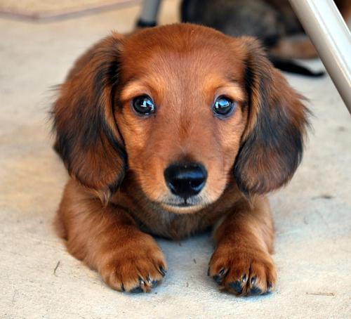 Blue-eyed Dachshund dog wallpaper