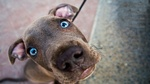 Blue-eyed Weimaraner dog