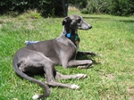 Blue Greyhound dog