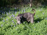 Blue Lacy dog and flowers