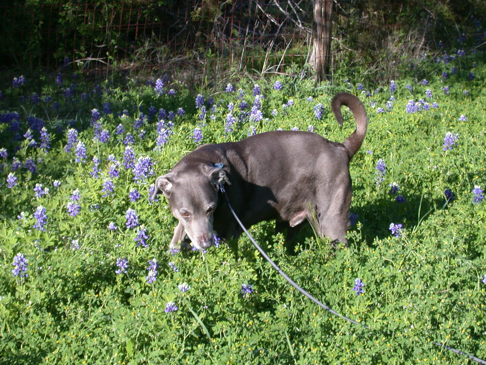 Blue Lacy dog and flowers wallpaper