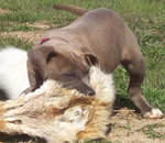 Blue Lacy hunting dog