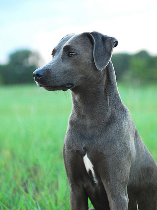 Blue Lacy wallpaper