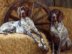 Bluetick Coonhound in the hayloft