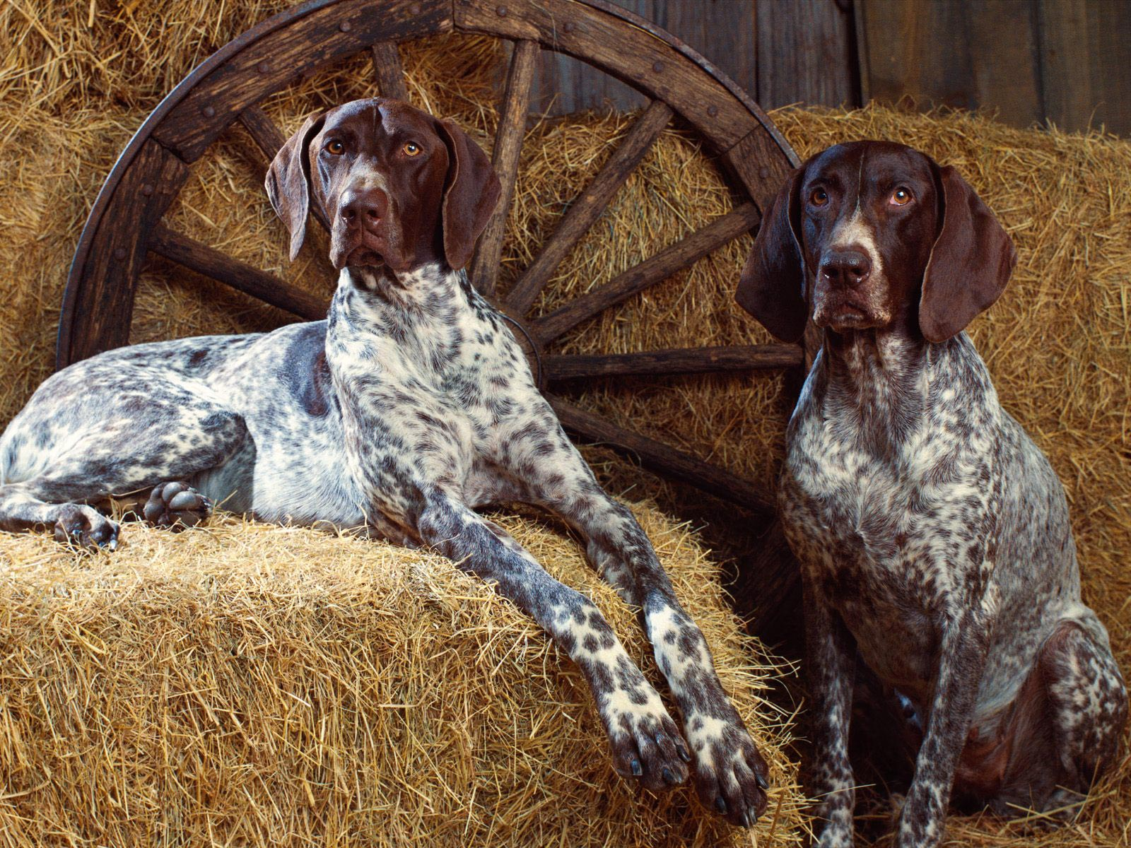Bluetick Coonhound in the hayloft wallpaper