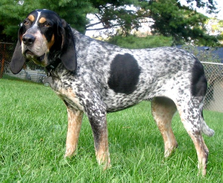 Bluetick Coonhound wallpaper