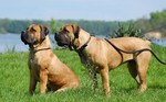 Boerboel at lake