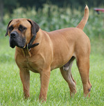 Great Lakes Jordan - Boerboel dog