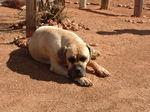 Собака бурбуль в пустыне