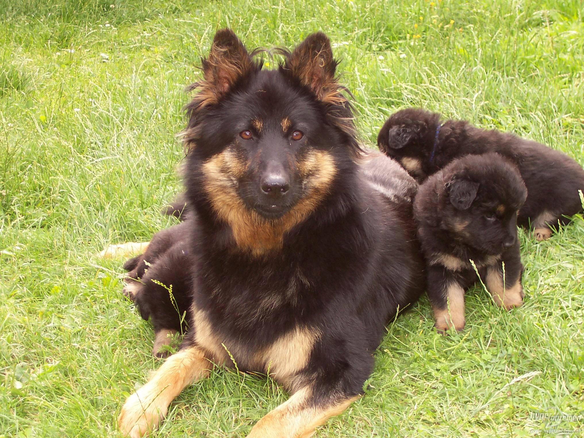 Чешская пастушья собака и ее щенки фото