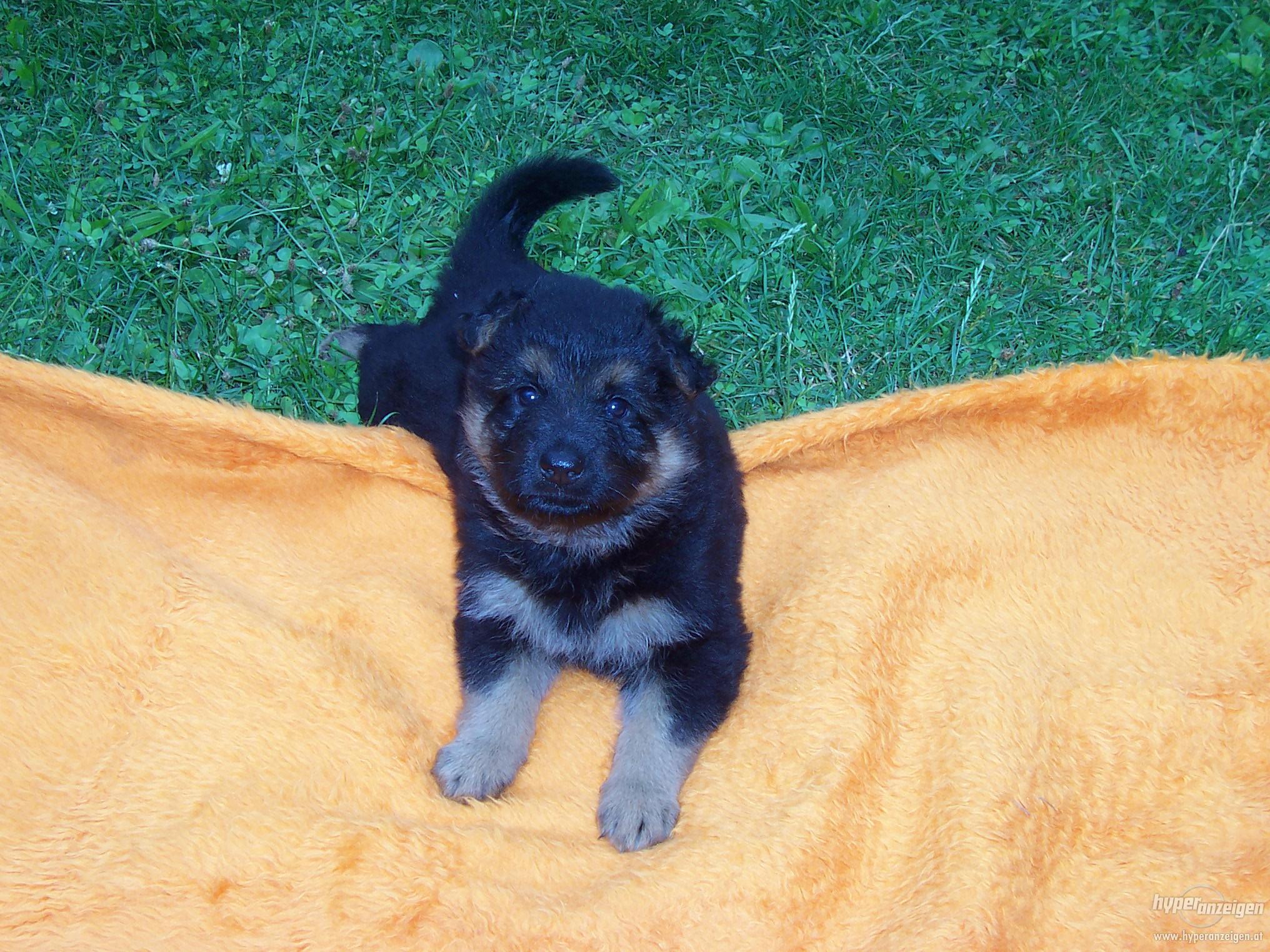 Чешская пастушья собака на одеяле фото