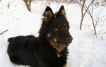 Bohemian Shepherd dog wintertime