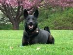 Bonny Dutch Shepherd Dog