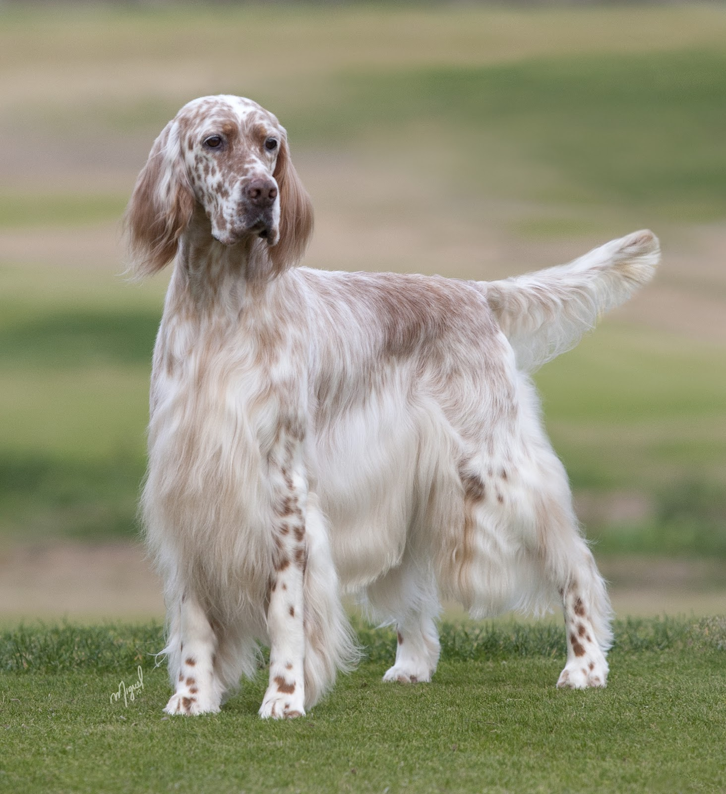 Bonny English Setter dog wallpaper