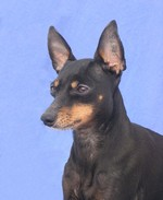 Bonny English Toy Terrier(Black Tan)