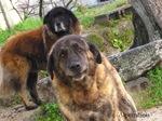 Bonny Estrela Mountain dogs