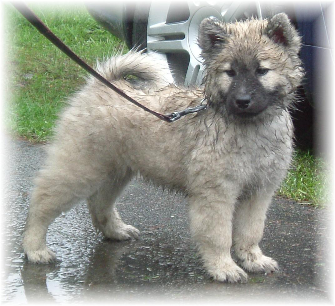 Красивый щенок собаки евразиер фото