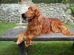 Bonny Irish Setter dog