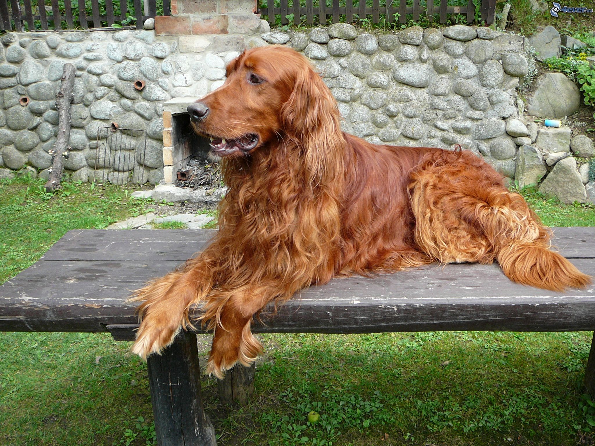 Bonny Irish Setter dog  wallpaper
