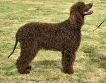 Bonny Irish Water Spaniel dog