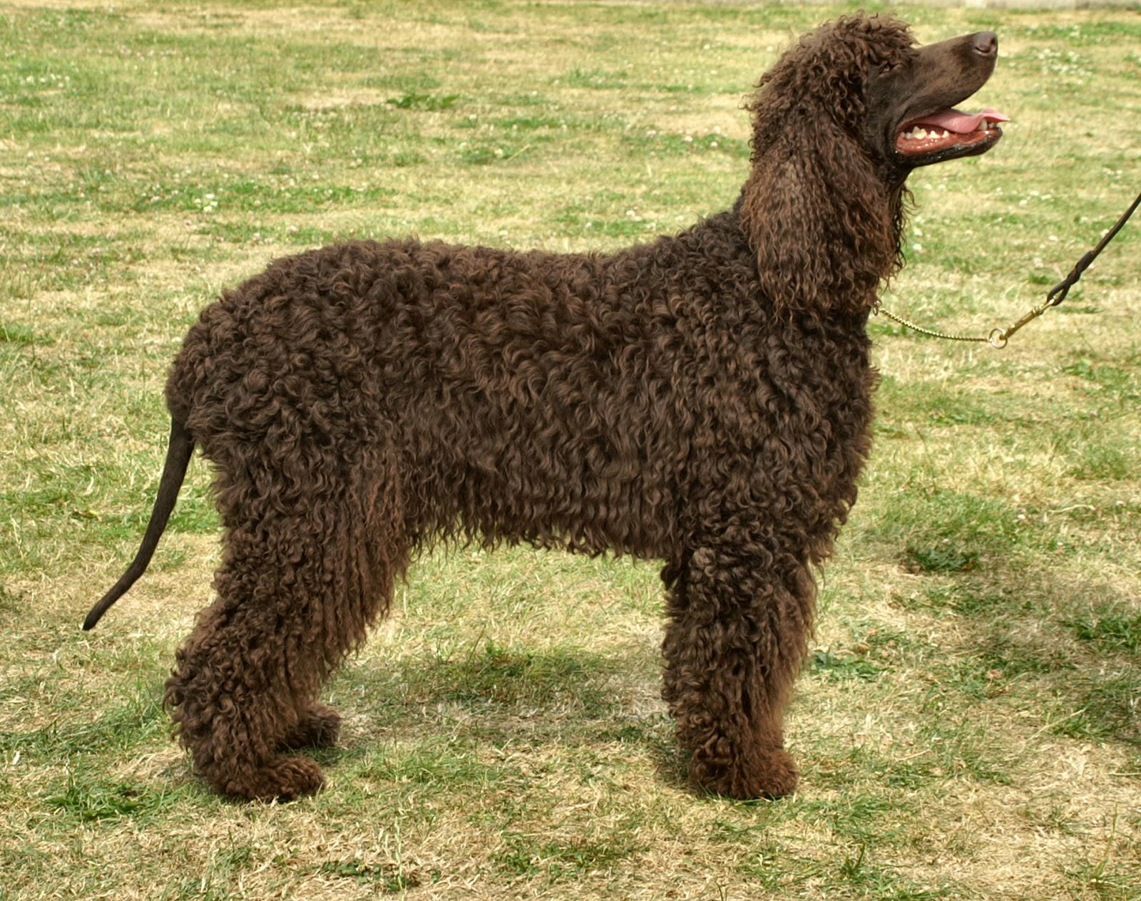 Bonny Irish Water Spaniel dog  wallpaper