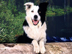 Border Collie on the log