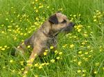 Border Terrier and flowers