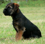 Border Terrier dog Jack