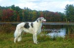 Borzoi dog at lake