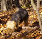 Bosnian Coarse-haired Hound in the forest