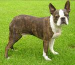Boston Terrier Lucky